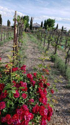 Sanders Winery-08-vineyard